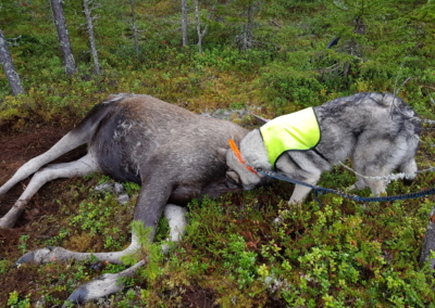 Boss and a moose calf
